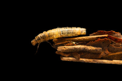Photo: A unidentified northern caddisfly (Limnephilus sp.) in a protective case it made out of leaves to hide itself in a stream, collected by the West Liberty University Crayfish Conservation Lab. This insect was collected from Davis, West Virginia.