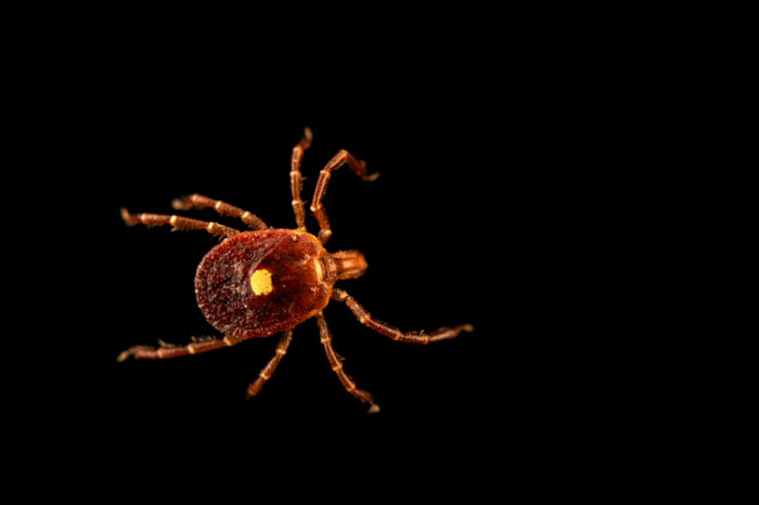 Photo: A lone star tick (Amblyomma americanum) photographed at Spring Creek Prairie Audubon Center near Denton, NE. This animal was originally collected from Bobcat Prairie near Denton, NE.