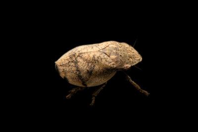 Photo: A hill prairie spittlebug (Lepyronia gibbosa) photographed at Spring Creek Prairie Audubon Center near Denton, NE. This animal was originally collected from Bobcat Prairie near Denton, NE.