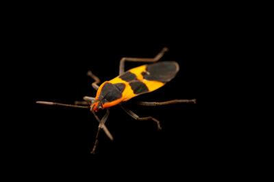 Photo: A large milkweed bug (Oncopeltus fasciatus) photographed at Spring Creek Prairie Audubon Center near Denton, NE. This animal was originally collected from Bobcat Prairie near Denton, NE