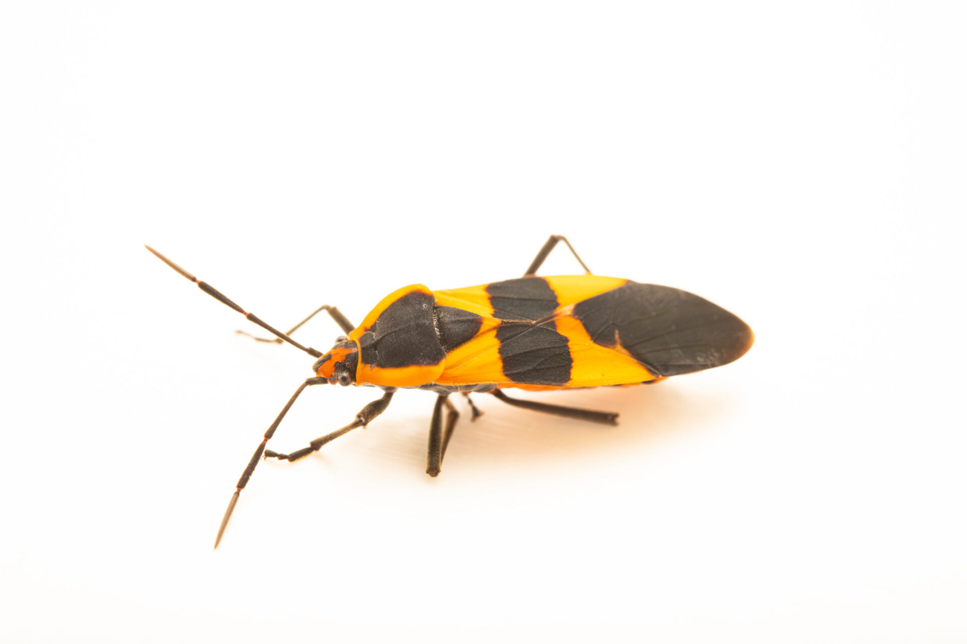 Photo: A large milkweed bug (Oncopeltus fasciatus) photographed at Spring Creek Prairie Audubon Center near Denton, NE. This animal was originally collected from Bobcat Prairie near Denton, NE.