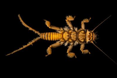 Photo: A unidentified stonefly larvae (Isoperla sp.) at the West Liberty University Crayfish Conservation Lab in West Liberty, Virginia.