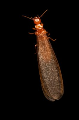Photo: An unidentified termite species at Fauna Andina, a conservation center near Villarrica, Chile.