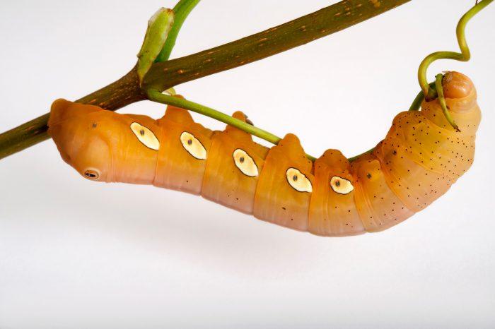 A Pandorus sphinx moth caterpillar (Eumorpha pandorus) at Spring Creek Prairie near Denton, Nebraska.