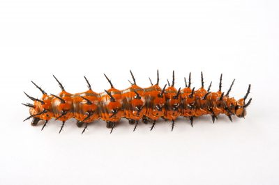 A caterpillar of the Gulf fritillary butterfly (Agraulis vanillae) at the Audubon Insectarium in New Orleans, Louisiana.