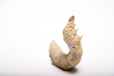 Picture of a silkworm caterpillar (Bombyx mori) at the St. Louis Zoo.
