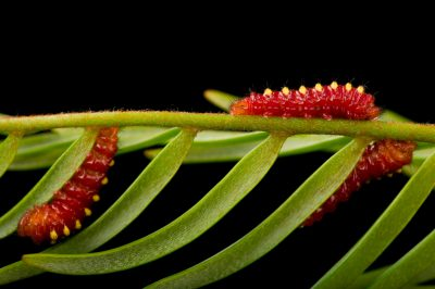 Photo: Caterpillars of the atala butterfly or coontie hairstreak (Eumaeus atala) at the McGuire Center of the Florida Museum of Natural History.
