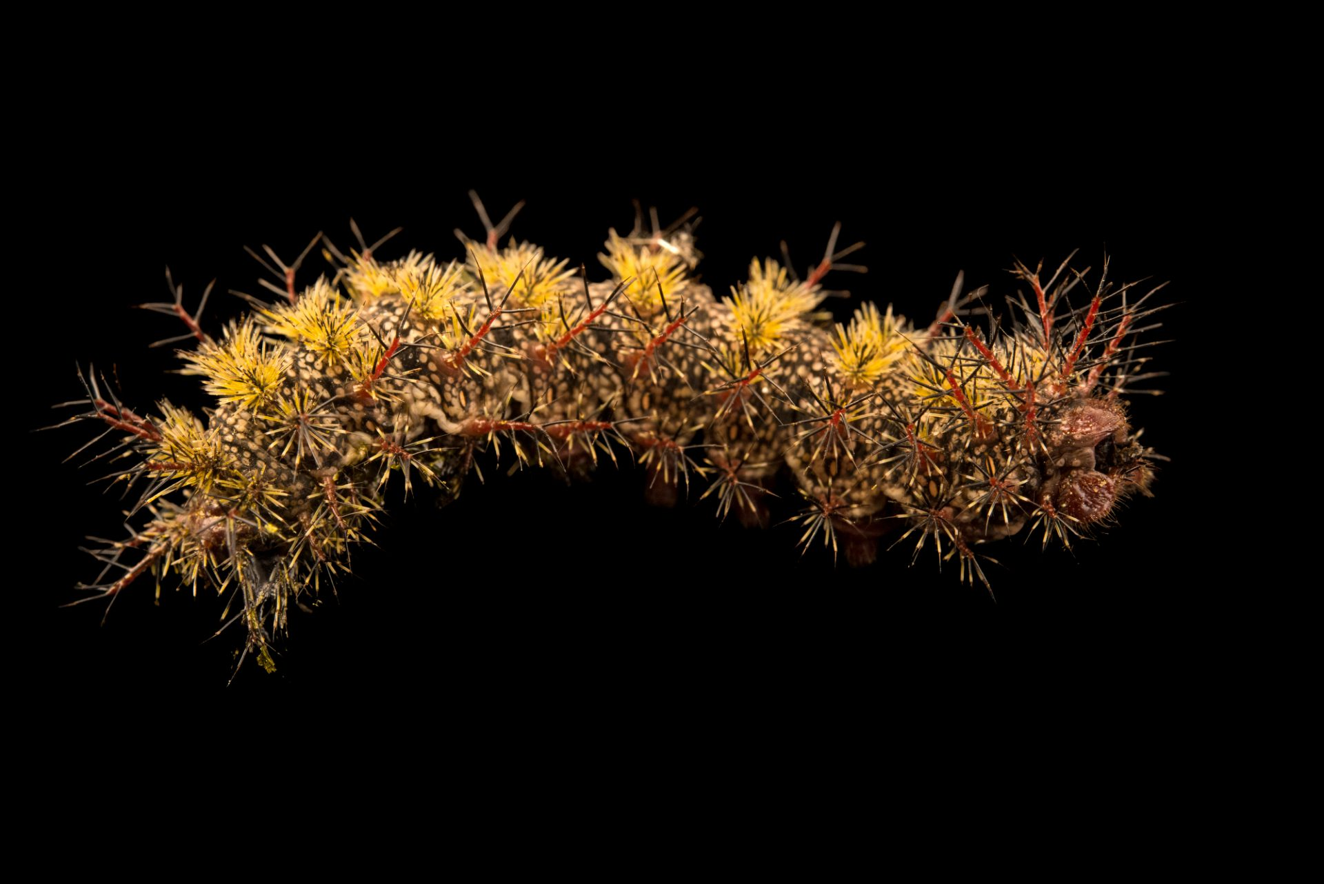 Photo: Buck moth caterpillar (Hemileuca maia) at the Audubon Insectarium.