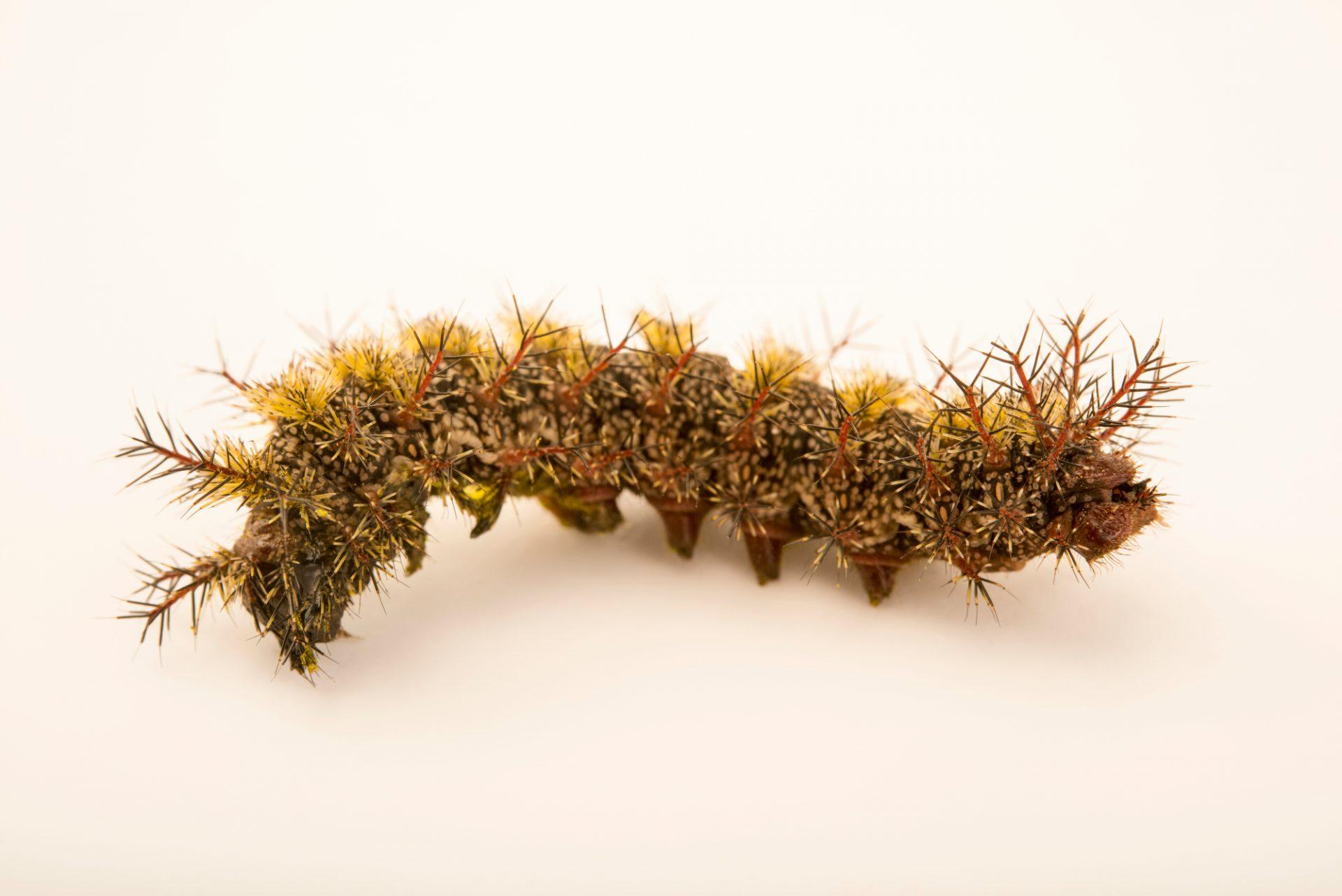 Photo: Buck moth caterpillar (Hemileuca maia) at the Audubon Insectarium.