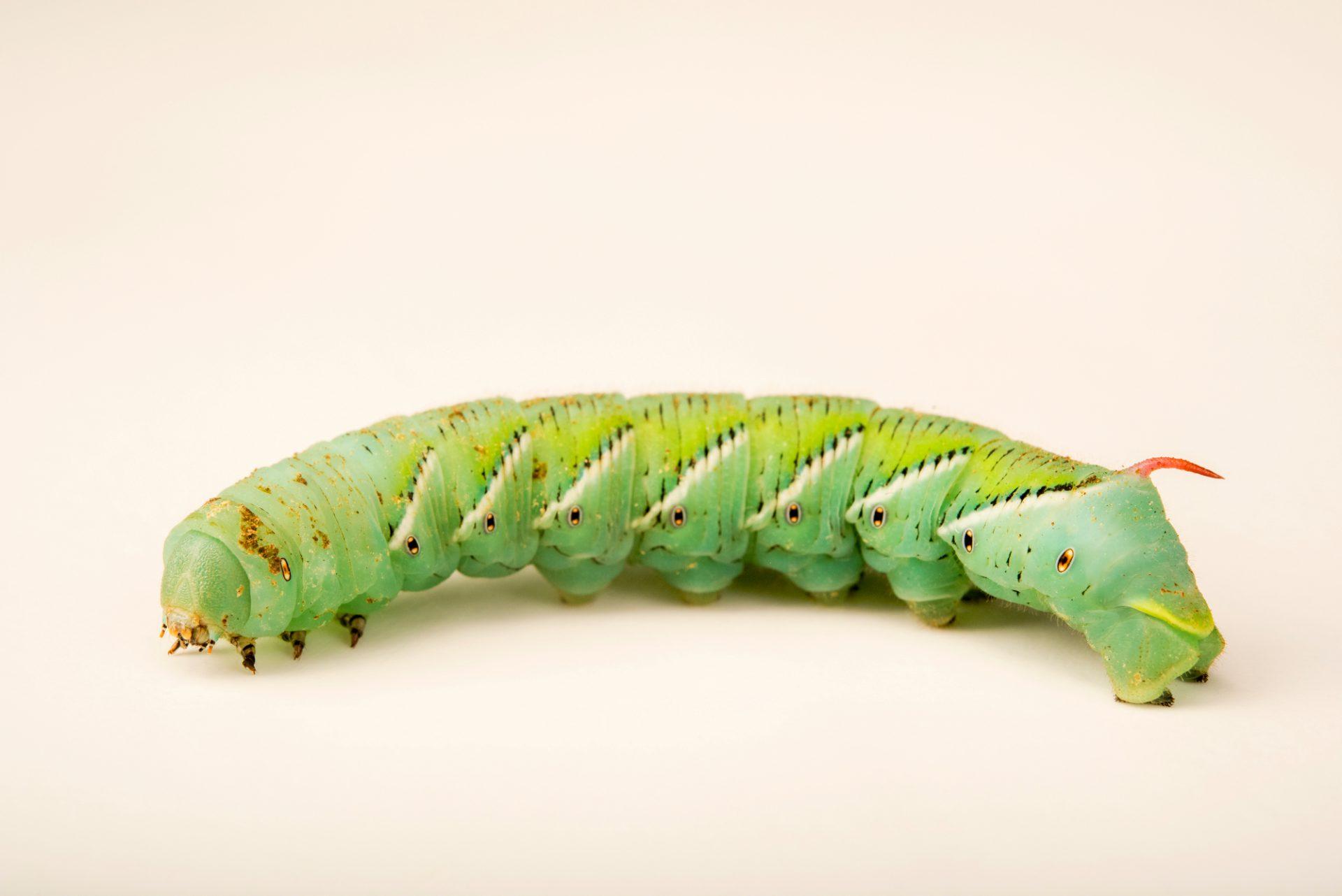 Photo: Tobacco hornworm (Manduca sexta) at the Audubon Insectarium.