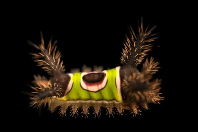 Photo: Saddleback moth caterpillar (Acharia stimulea) at the Audubon Insectarium.