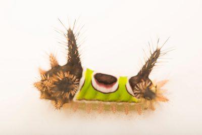 Photo: Saddleback moth caterpillar (Acharia stimulea) at the Audubon Insectarium.