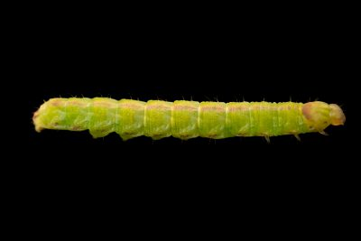 Photo: An unidentified caterpillar (Noctuidae sp.) at Graham's Quinta dos Malvedos Vineyard.