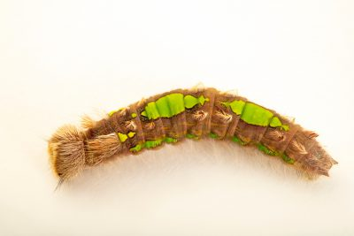 Photo: White morpho caterpillar (Morpho polyphemus) at Butterfly Pavilion in Westminster, Colorado.