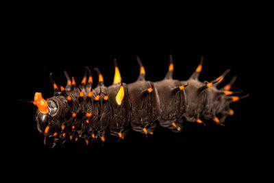 Photo: Cairns birdwing caterpillar (Ornithoptera euphorion) at Melbourne Zoo.