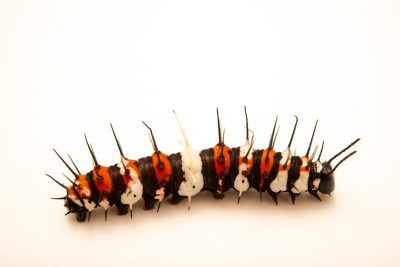 Photo: Caterpillar of orange lacewing (Cethosia penthesilea) at Melbourne Zoo.
