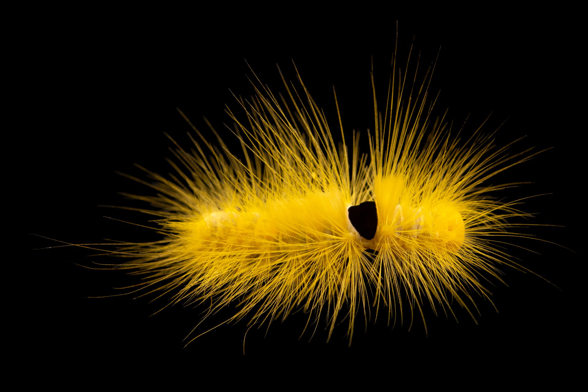 Photo: Caterpillar of a yellow tussock moth (Calliteara horsfieldii) collected on grounds at the Singapore Zoo.