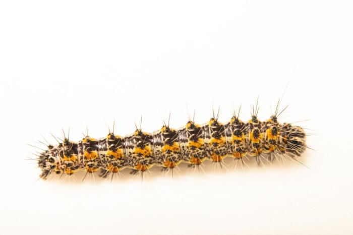 Photo: A Henry's marsh moth caterpillar (Simyra henrici) collected at Spring Creek Prairie Audubon Center near Denton, NE.