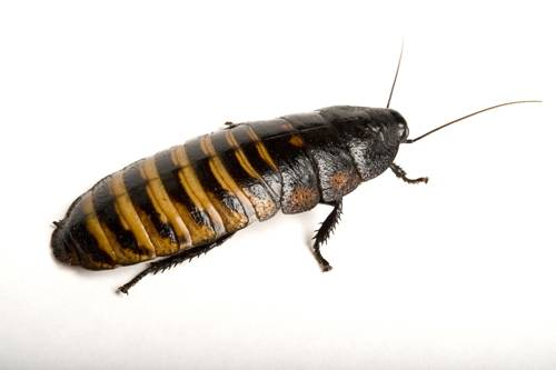 Picture of a tiger hissing cockroach (Gromphadorhina grandidieri).