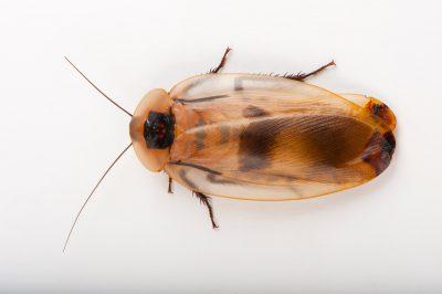 A Caribbean giant cockroach (Blaberus giganteus)