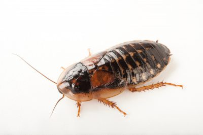 A dubia cockroach (Blaptica dubia) at Omaha's Henry Doorly Zoo and Aquarium.