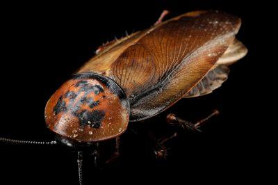 Photo: Orange-headed roach (Eublaberus posticus) at the Insectarium in New Orleans.