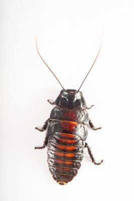 Photo: A Madagascar hissing cockroach (Aeluropoda insignia) from the Plzen Zoo in the Czech Republic.