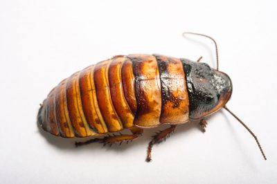 Photo: A Madagascar hissing cockroach (Eliptorhina chopardi) from the Plzen Zoo in the Czech Republic.