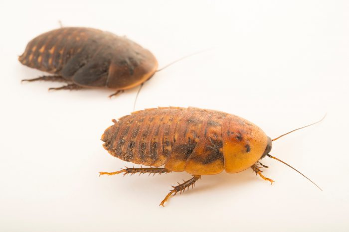 Photo: Two peppered cockroaches (Archimandrita tesselata) at the Topeka Zoo.