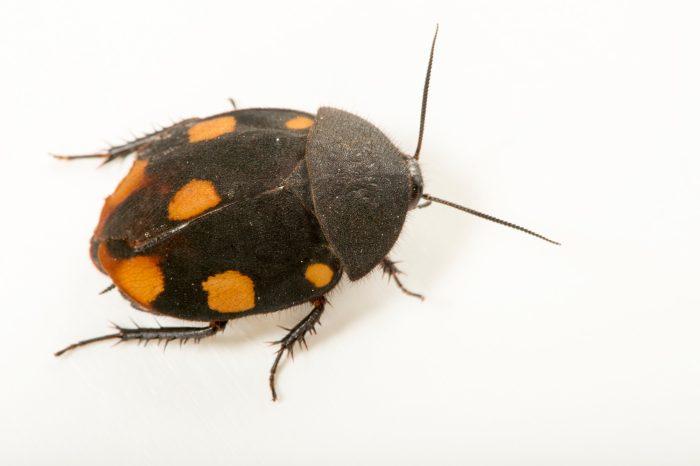 Photo: Orange domino roach (Therea regularis) at the Budapest Zoo.
