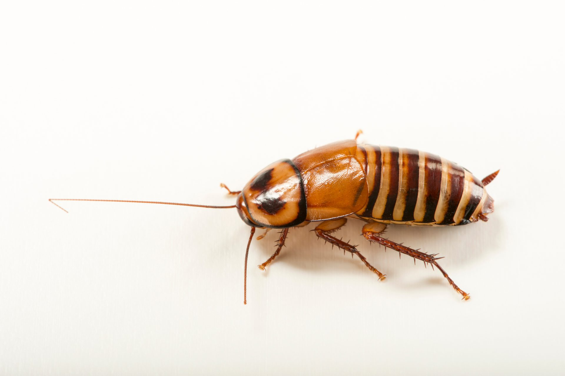 Photo: Zebra cockroach (Eurycotis decipiens) at the Budapest Zoo.