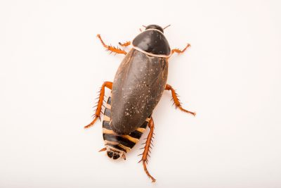 Photo: An extinct in the wild (IUCN) Simandoa cave roach (Simandoa conserfariam) at the Bugarium at the Albuquerque BioPark.