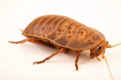 Photo: Desert roach (Anamesia maculosa) from the Melbourne Museum