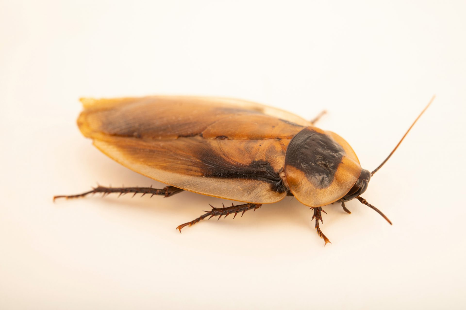 Photo: Death's head roach (Blaberus cranifer) at the Moscow Zoo.