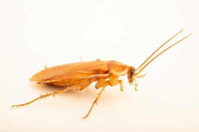 Photo: Male Turkestan cockroach (Shelfordella lateralis) at the Moscow Zoo.