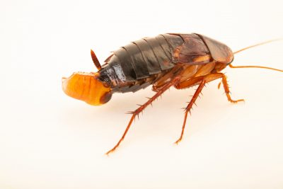 Photo: A female Turkestan cockroach (Shelfordella lateralis) with eggs at the Moscow Zoo.