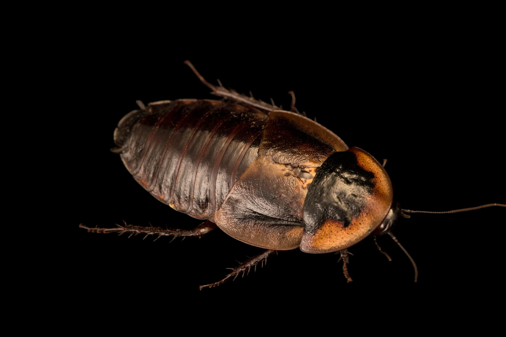 Photo: Cockroach (Byrsotria rothi) at Wroclaw Zoo.