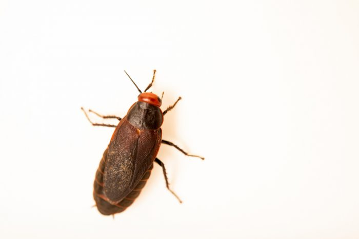 A red-head cockroach (Oxyhaloa deusta) at Wroclaw Zoo.
