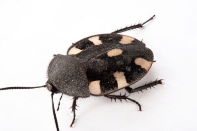 Picture of a seven spotted cockroach (Therea petiverina) at the Insectarium in New Orleans.