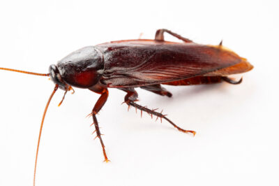 Photo: Smoky brown roach (Periplaneta fuliginosa) at the Insectarium in New Orleans.