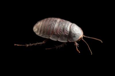 Photo: A female Egyptian desert cockroach (Polyphaga aegyptiaca) at Prague Zoo.