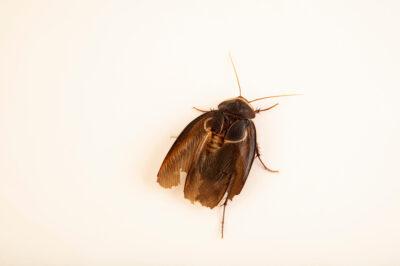 Photo: A male Egyptian desert cockroach (Polyphaga aegyptiaca) at Prague Zoo.