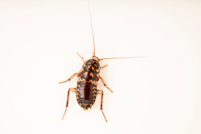 Photo: A Harlequin cockroach, Neostylopyga rhombifolia) at Prague Zoo.
