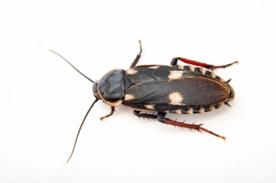 Photo: A cockroach (Paranauphoeta formosana) at Plzen Zoo in the Czech Republic.
