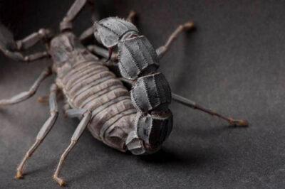 Photo: A Morrocan thicktail scorpion (Androctonus mauritanicus) at the Safari Land Pet Store.