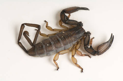 Photo: A giant banded flat rock scorpion (Hadogenes bicolor) at Reptile Gardens.
