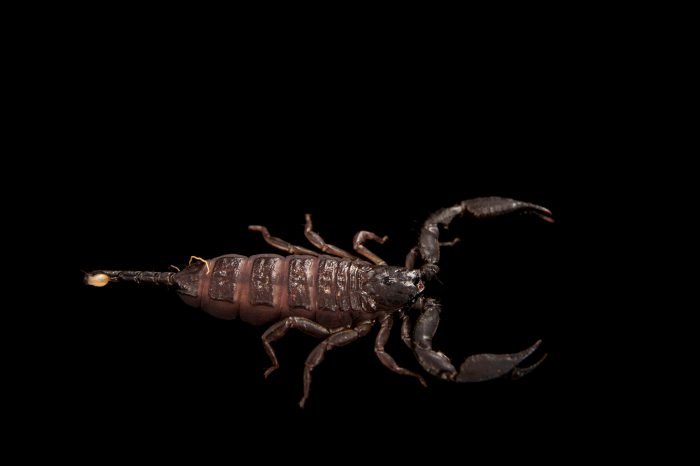 Picture of a rainforest scorpion (Liocheles waigiensis) at Wild Life Sydney Zoo.