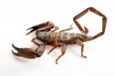 A banded flatrock scorpion (Hadogenes paucidens) at the Gladys Porter Zoo in Brownsville, Texas.