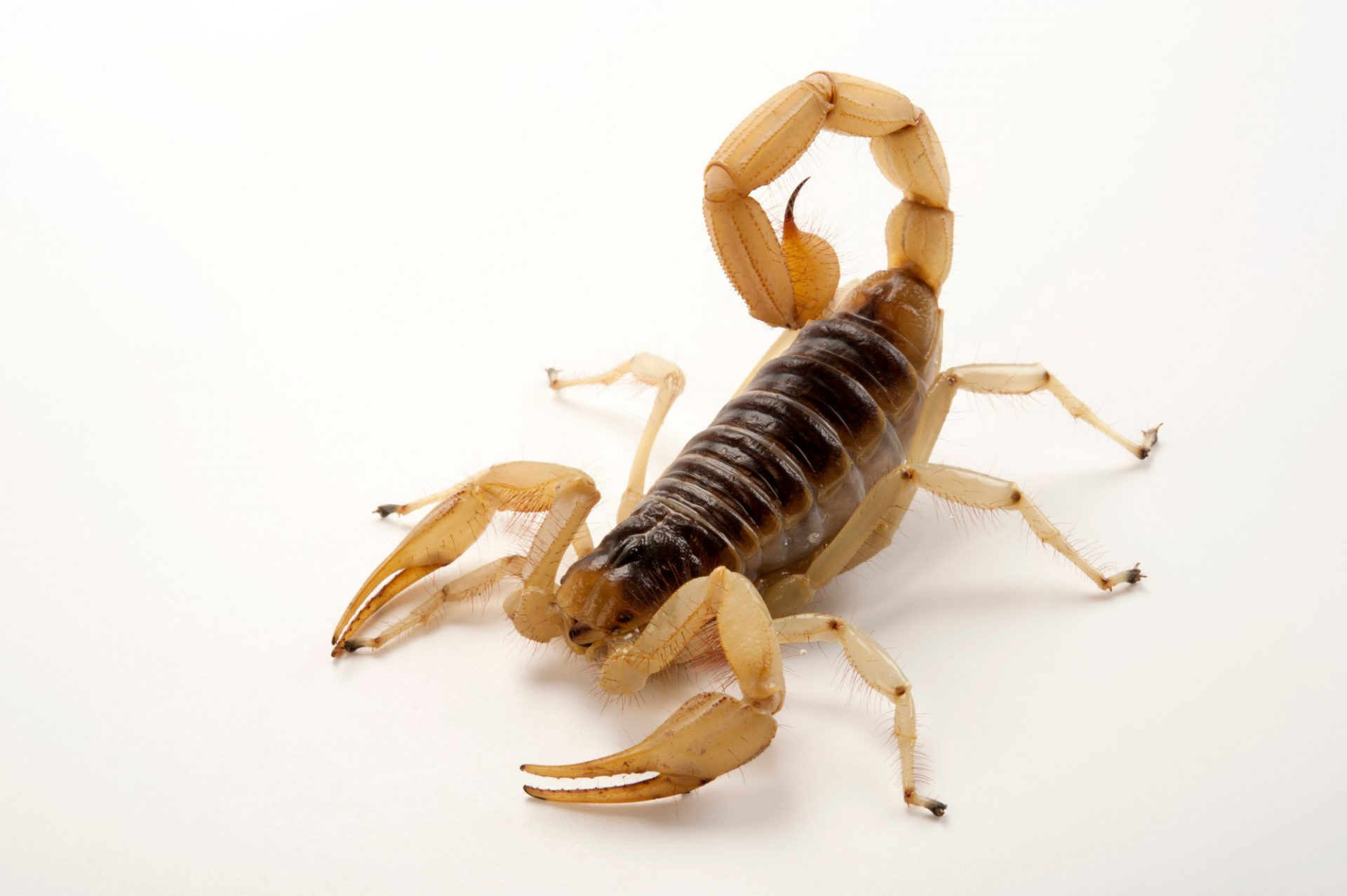 A giant desert hairy scorpion (Hadrurus arizonensis) at the Gladys Porter Zoo in Brownsville, Texas.