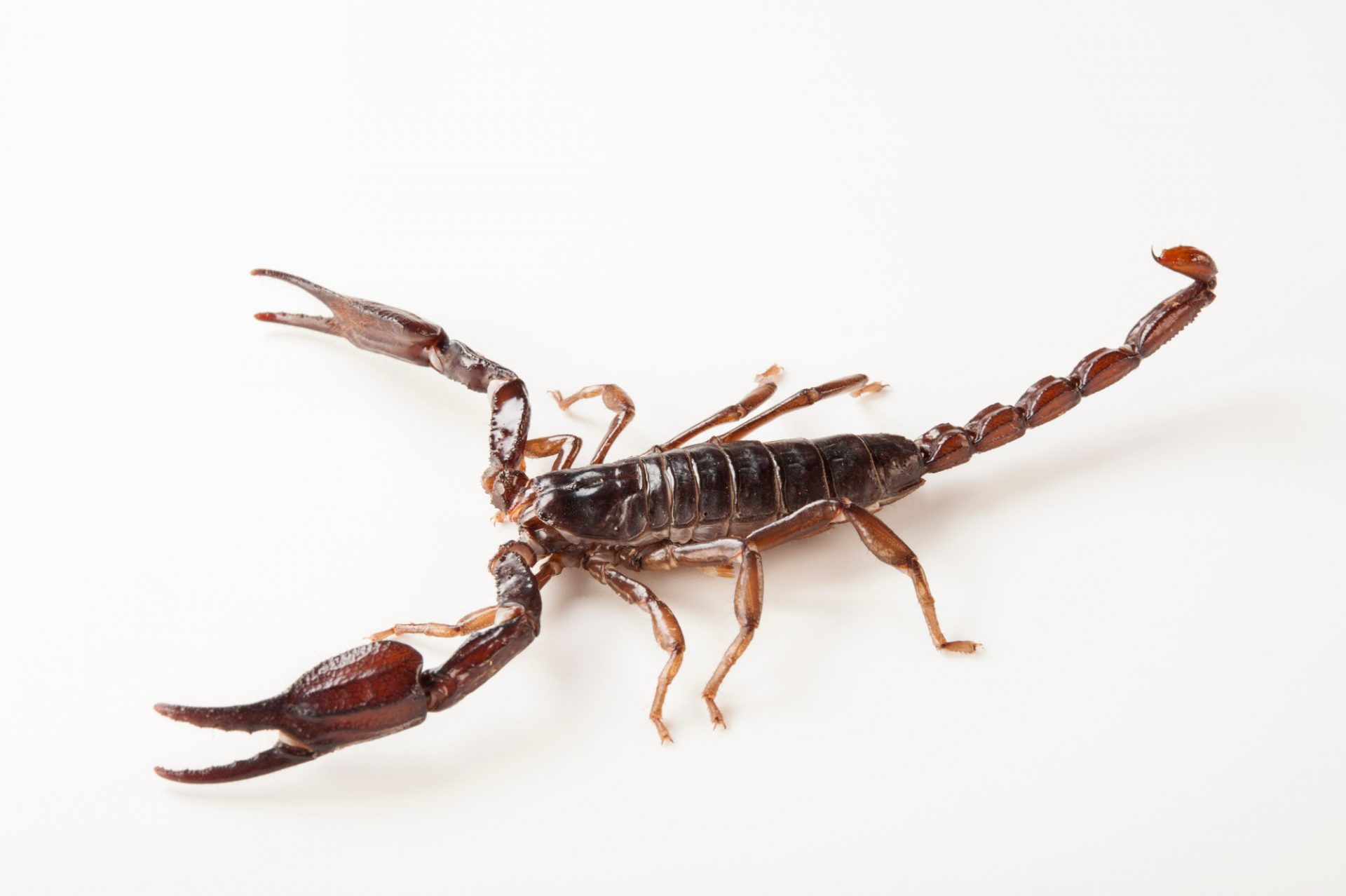 An Asian forest scorpion (Heterometrus longimanus) at the Gladys Porter Zoo in Brownsville, Texas.